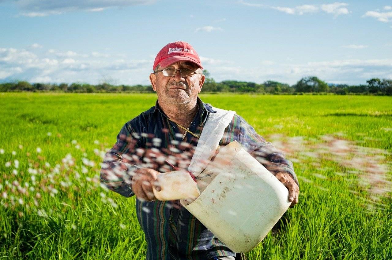 paysan, champs de riz, les cultures de riz