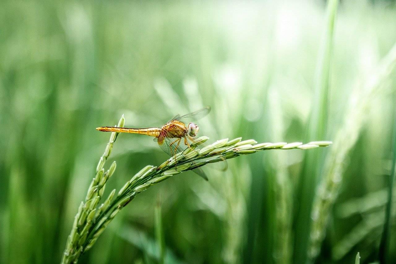 libellule, grain, vert