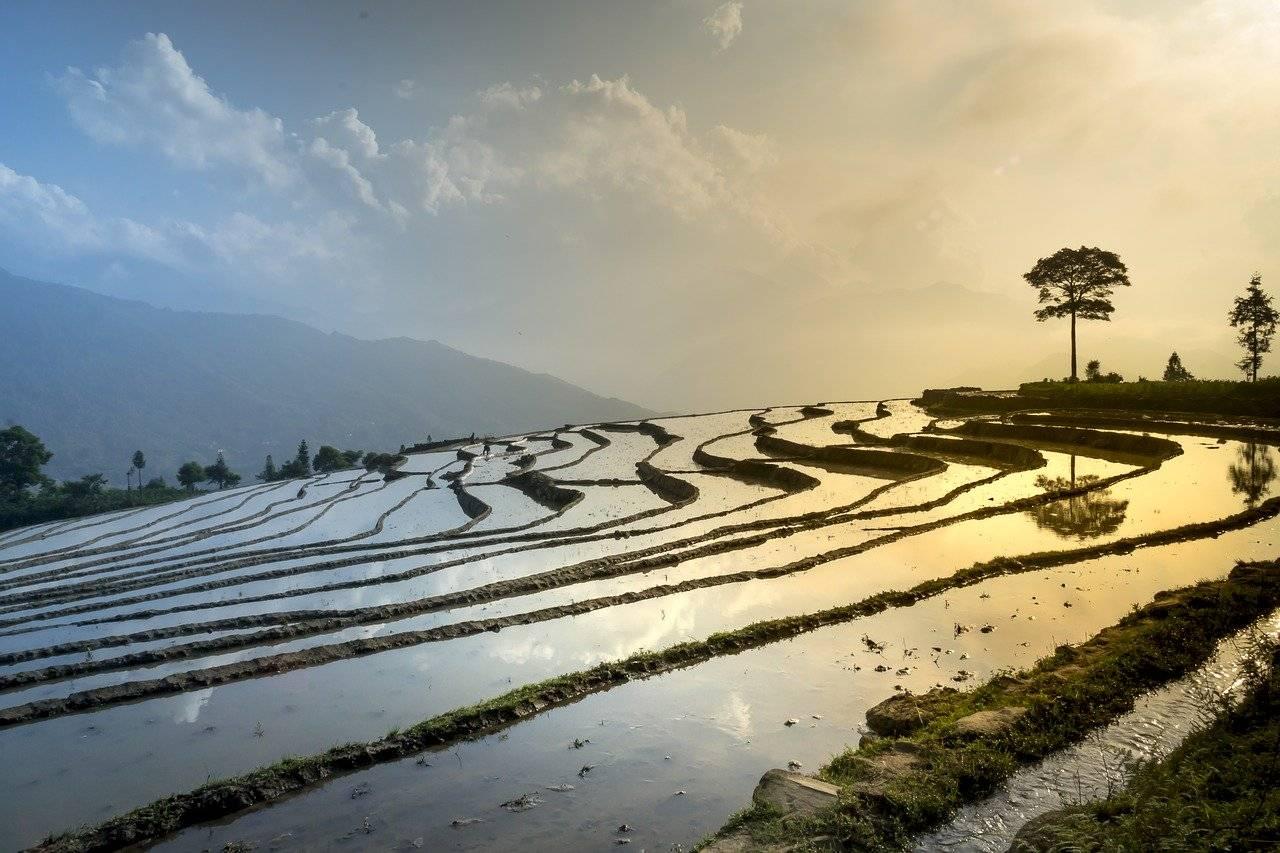 champ de riz, nature, paysage