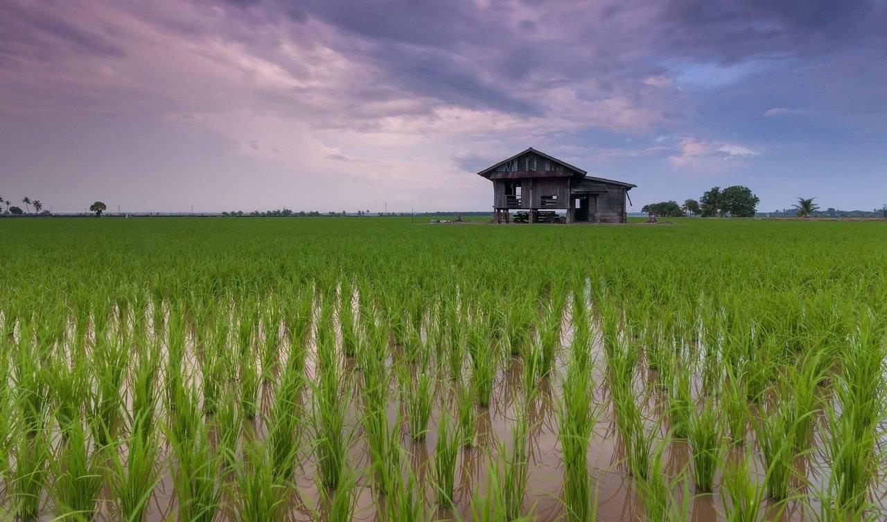 belle, chalet, champ de riz