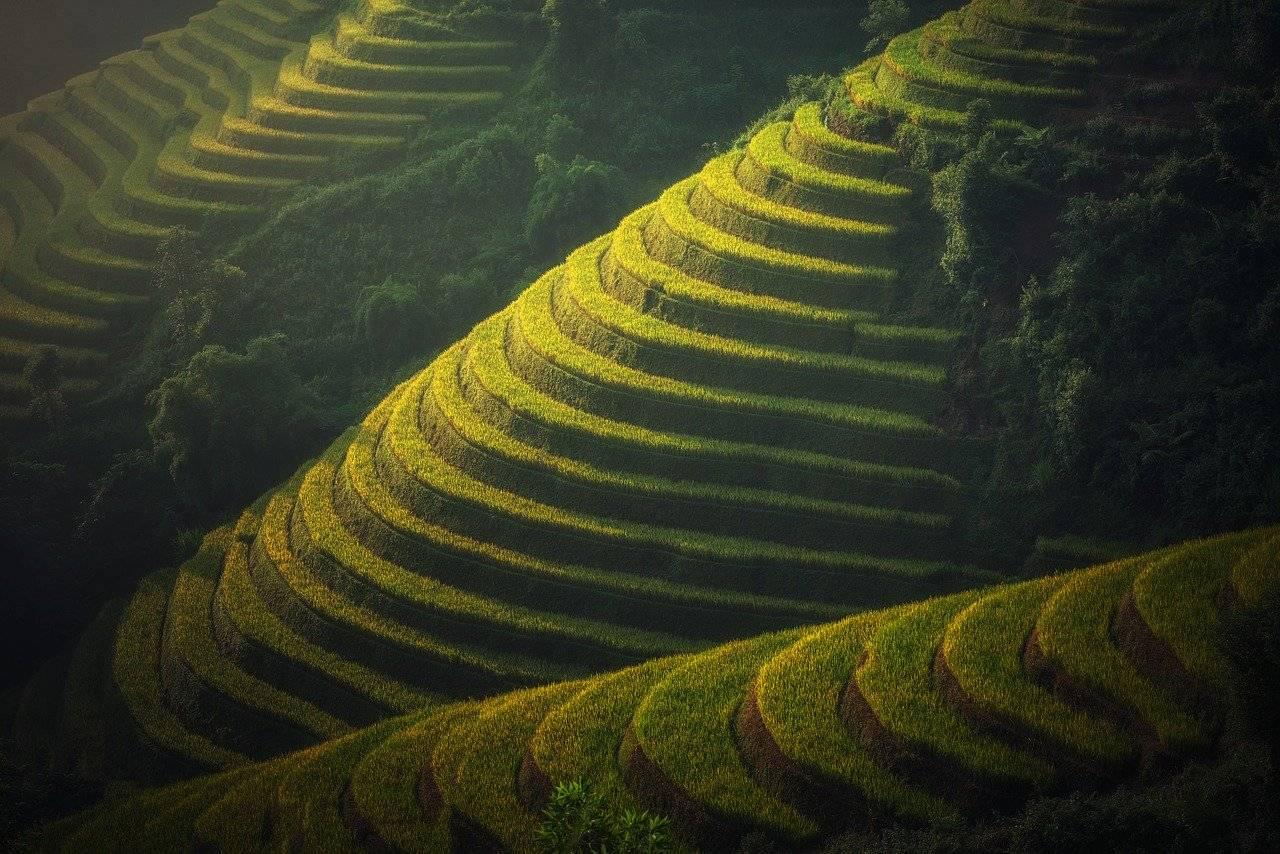 agriculture, vietnam, plantation de riz