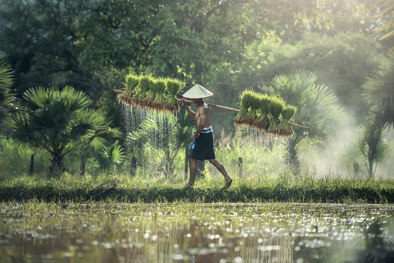 agriculture, riz, récolte
