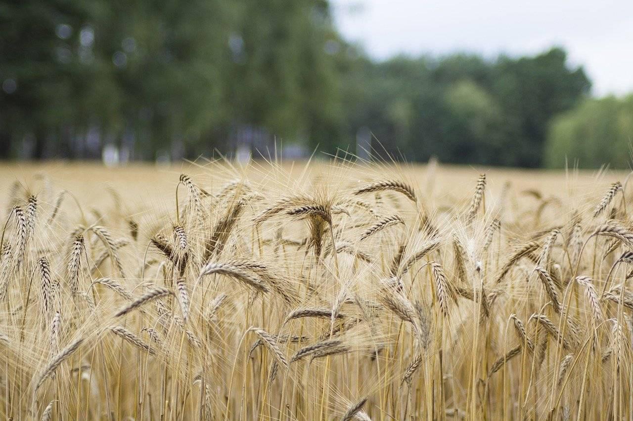 rice, field, farm