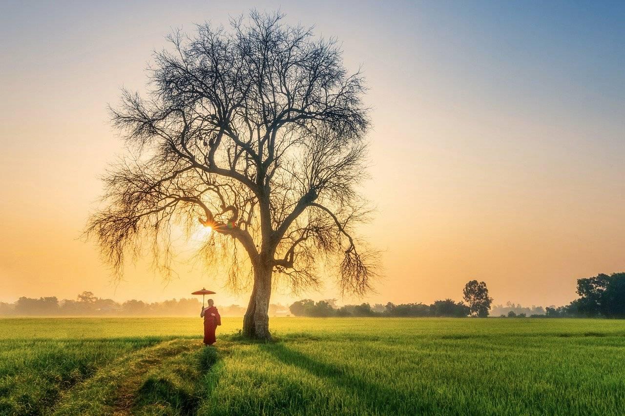 monk, morning, old tree