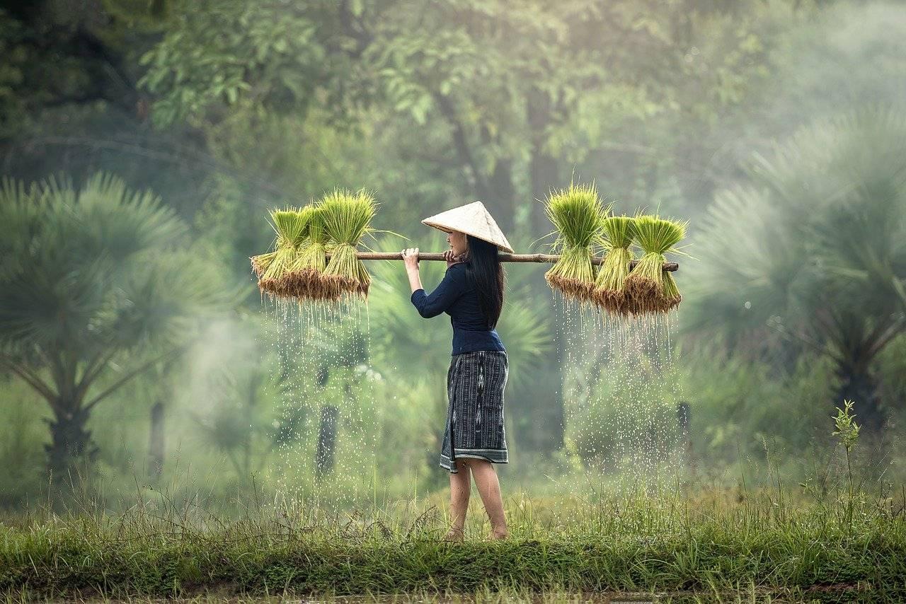 harvesting, myanmar, burma