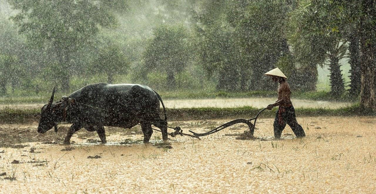buffalo, farmer, cultivating