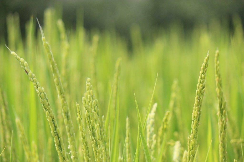 riz, oreille de riz, vert