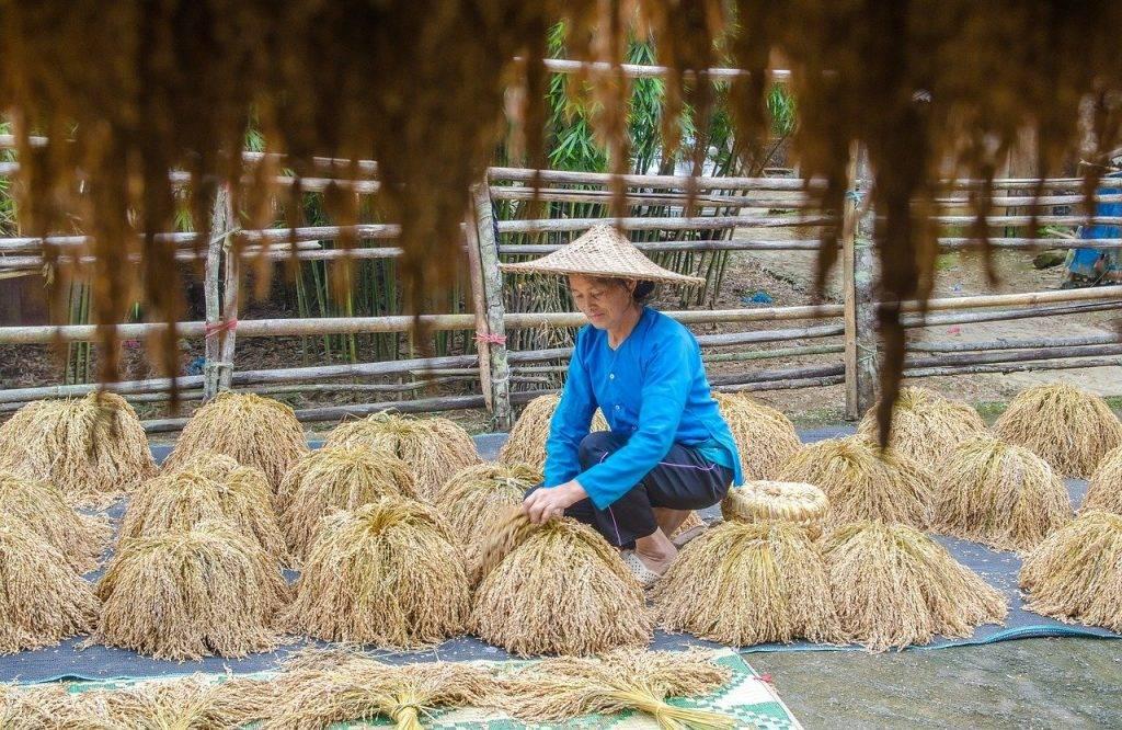 les agriculteurs, le séchage du paddy, riz