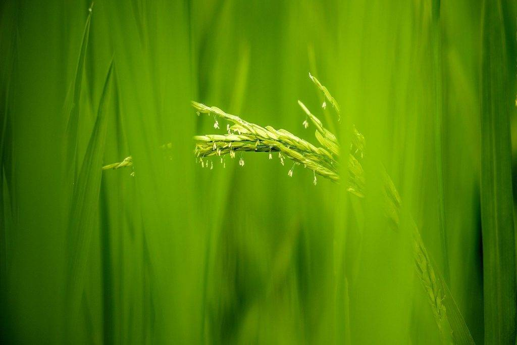riz fleurs, riz, champ de riz au vietnam