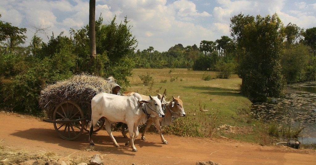 char à bœufs, récolte, le riz