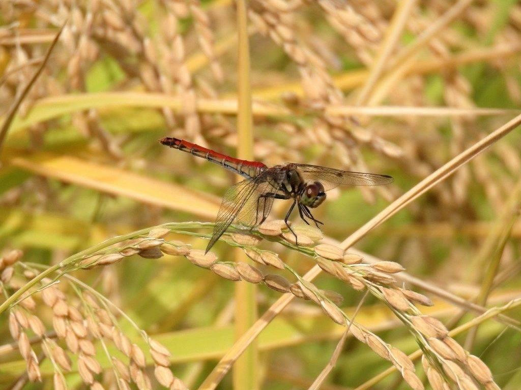 insect, rizière, riz