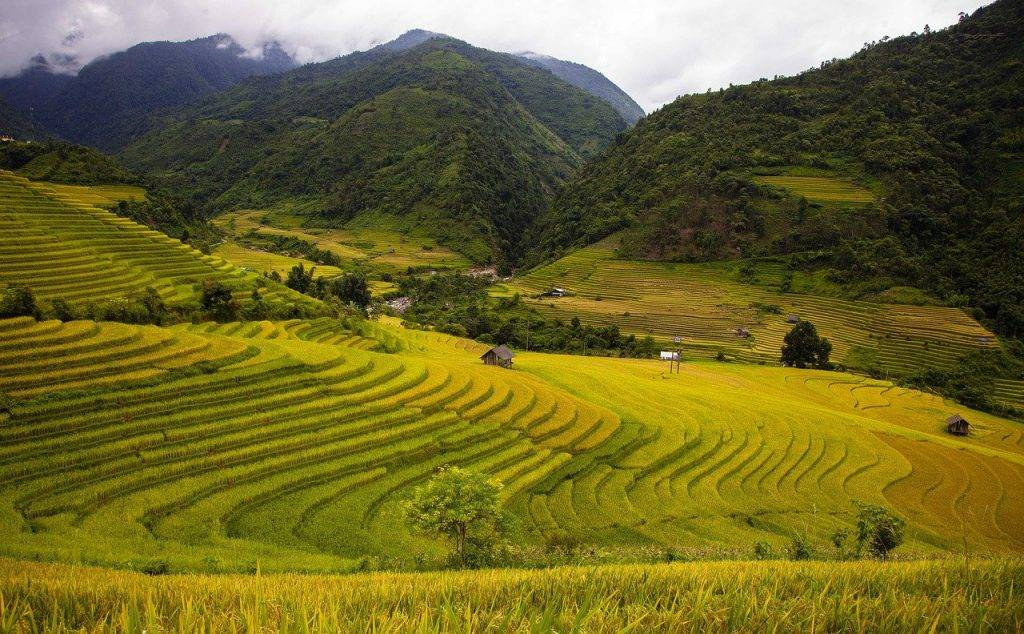 champ de riz, paysage, saison de riz