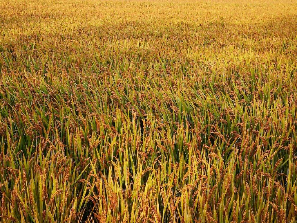 rizières, agriculture, riz