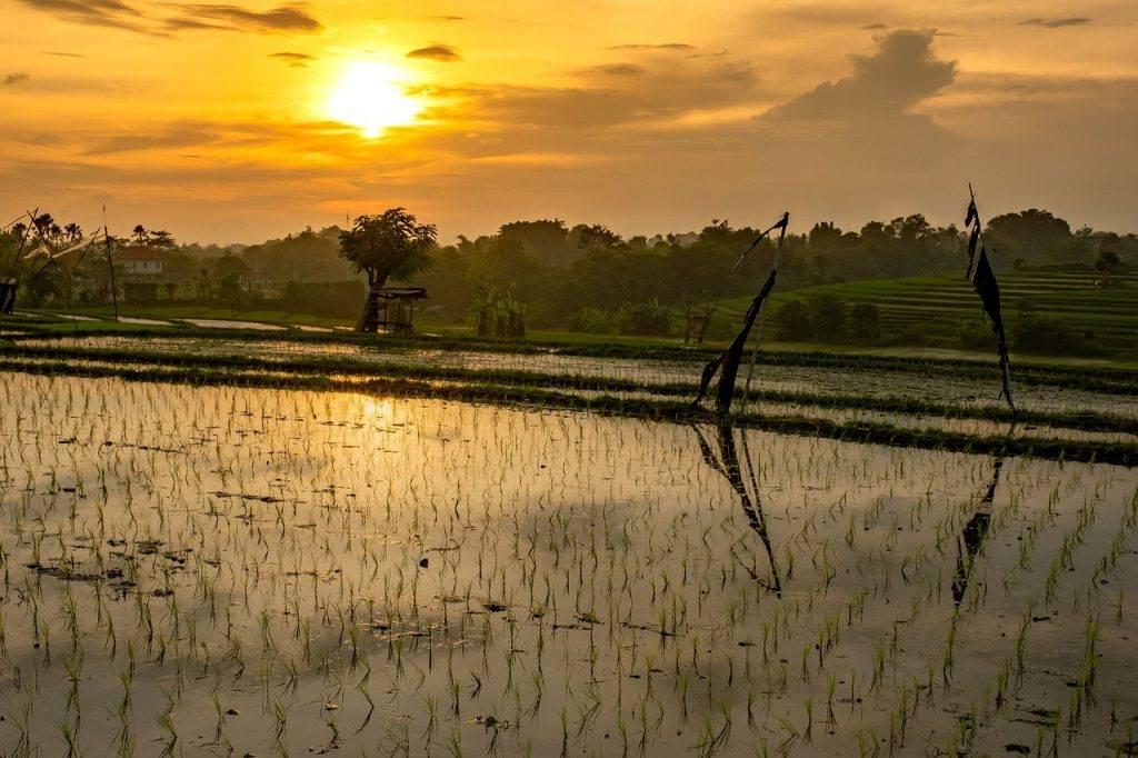 champ de riz, coucher de soleil, sur le terrain