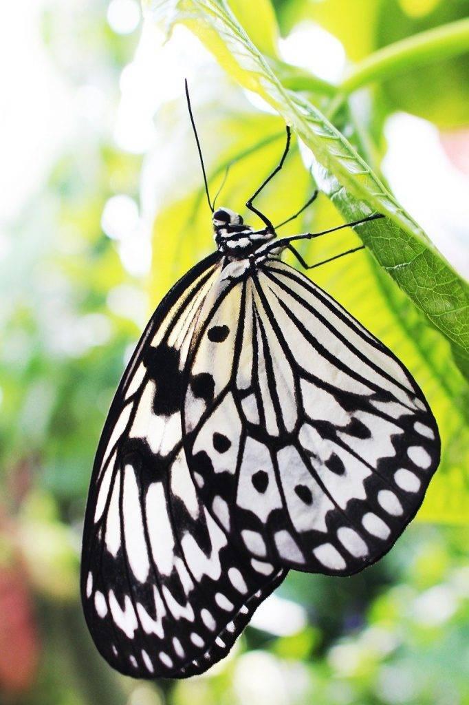 idée leuconoe, noir et blanc, papillon