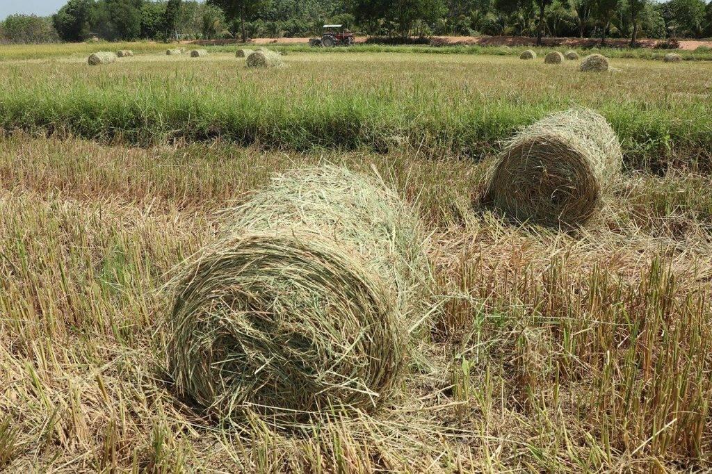 dans le domaine, rouleau de riz, multiples