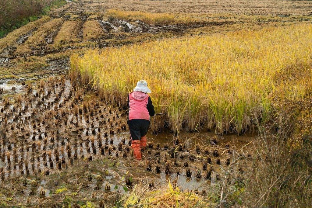 champ de riz, récolte, automne
