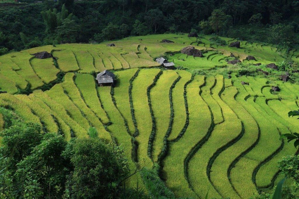 paysage, les champs en terrasses, viêt nam