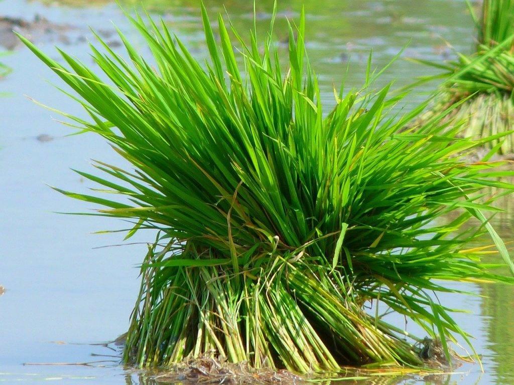 le riz, plant de riz, alimentation