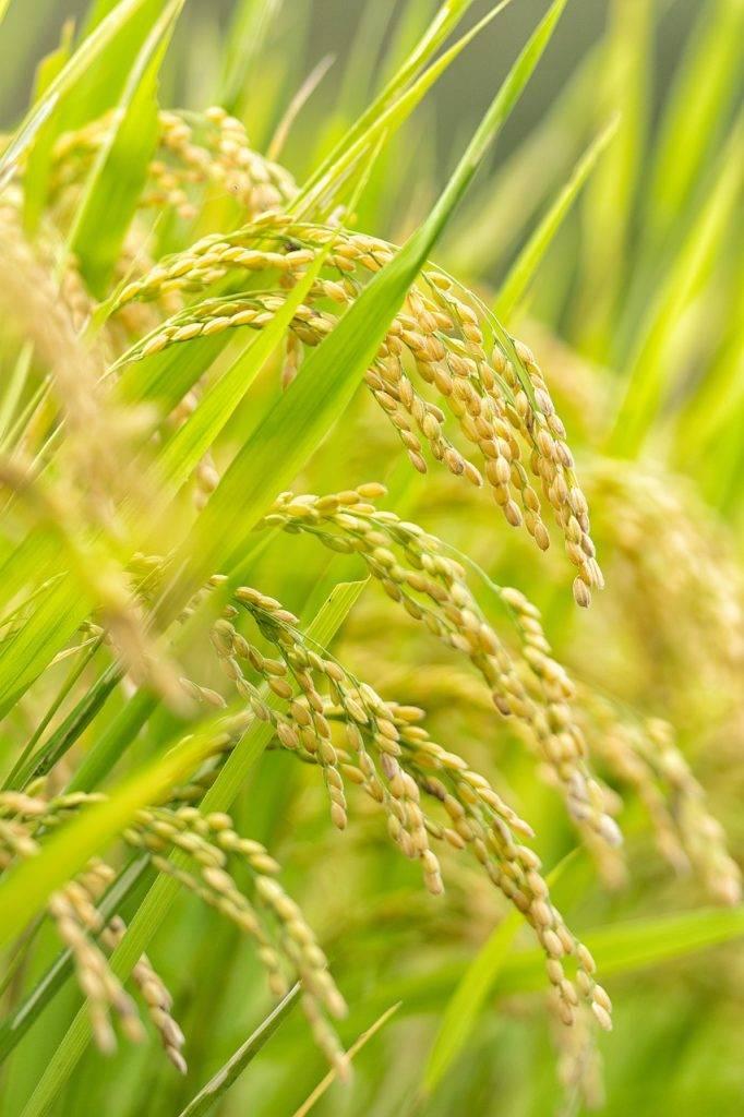 culture, usd, rizière
