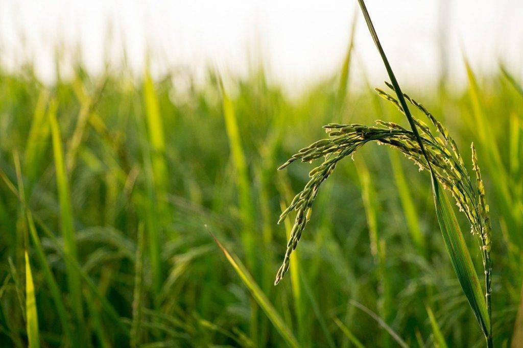 riz, sur le terrain, ferme