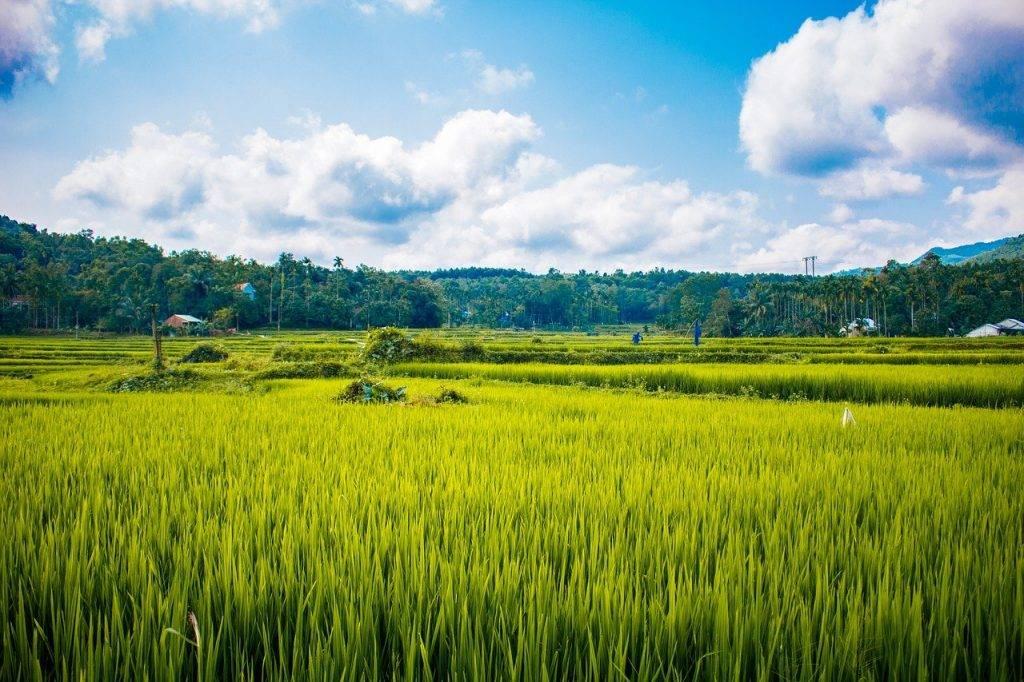 riz, sur le terrain, rural