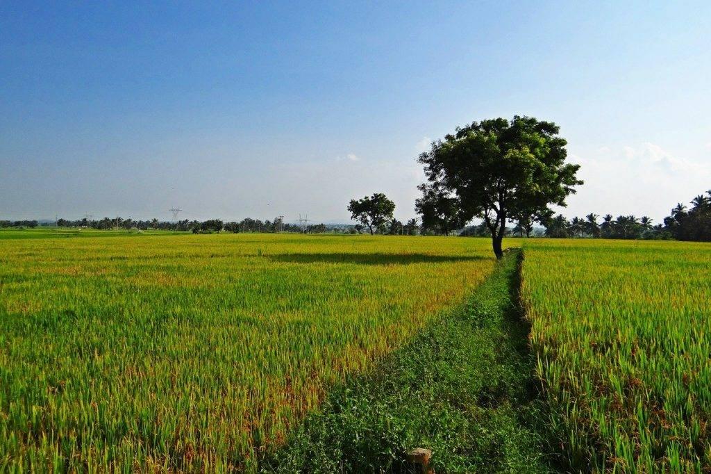 champs de riz, gangavati, karnataka