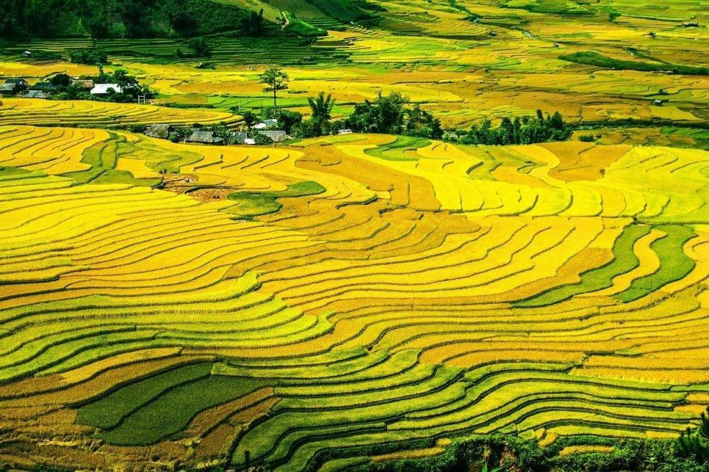 rizières en terrasses, champs de riz, paddy