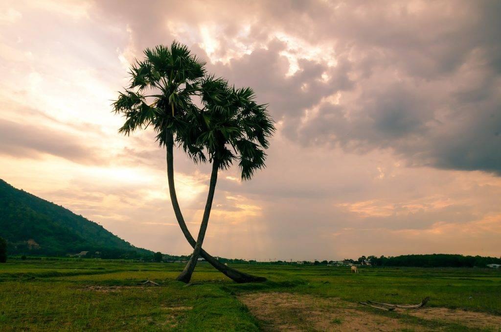 arbre, les palmiers, jaggery arbre