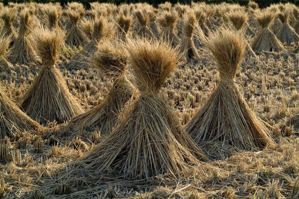 la paille, riz, grain