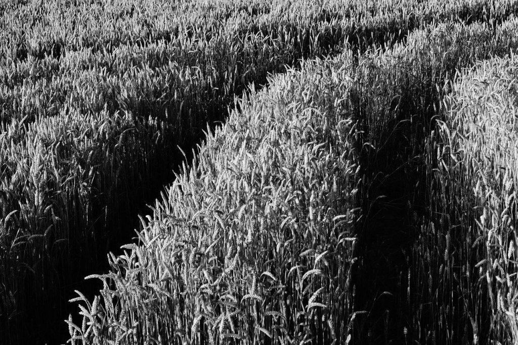sur le terrain, herbe, cultures