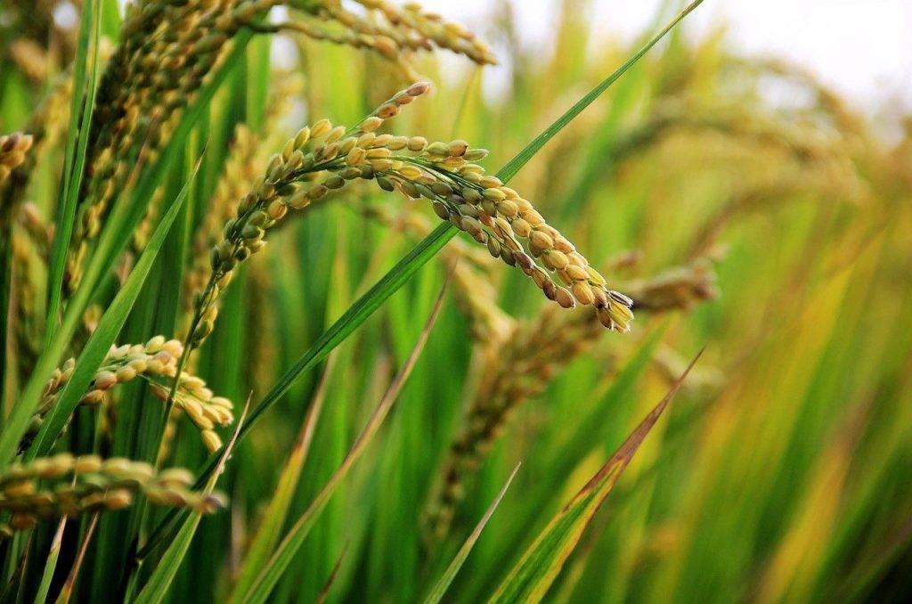dans le champ de riz, riz, riz