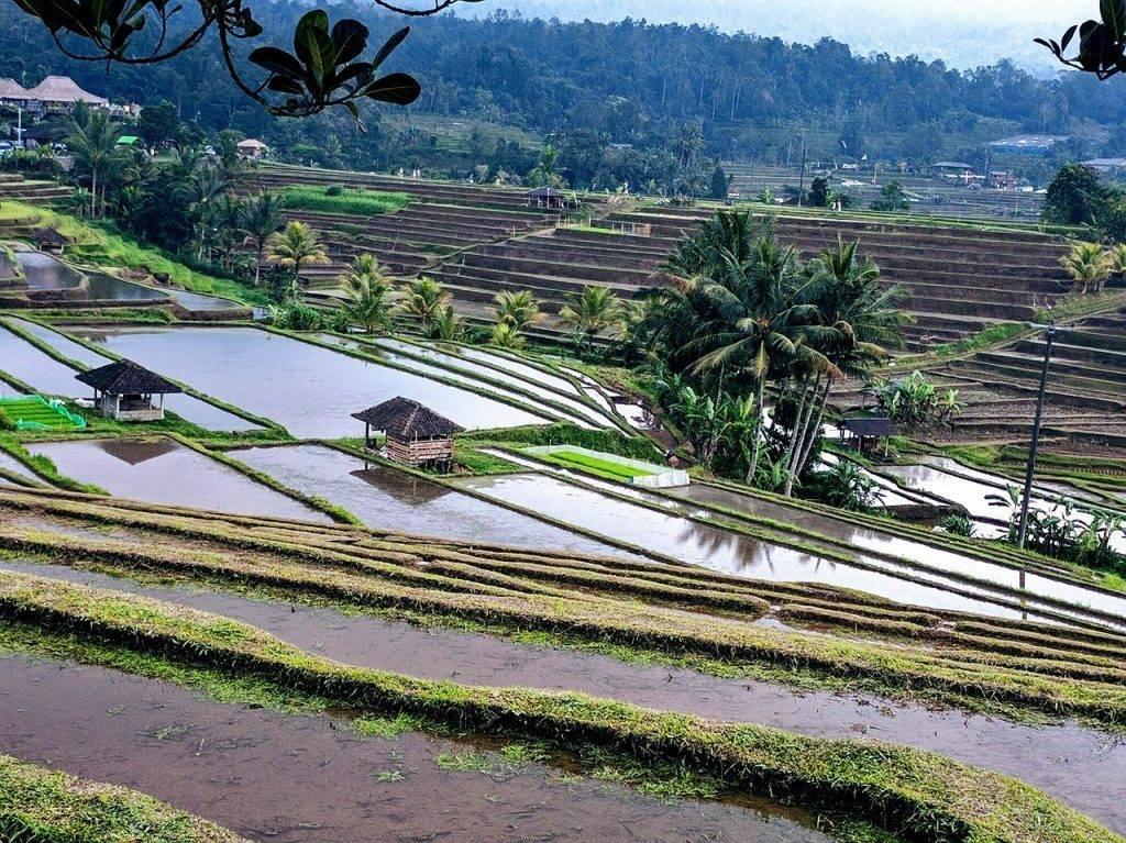 terrasse riz, champs de riz, rizières