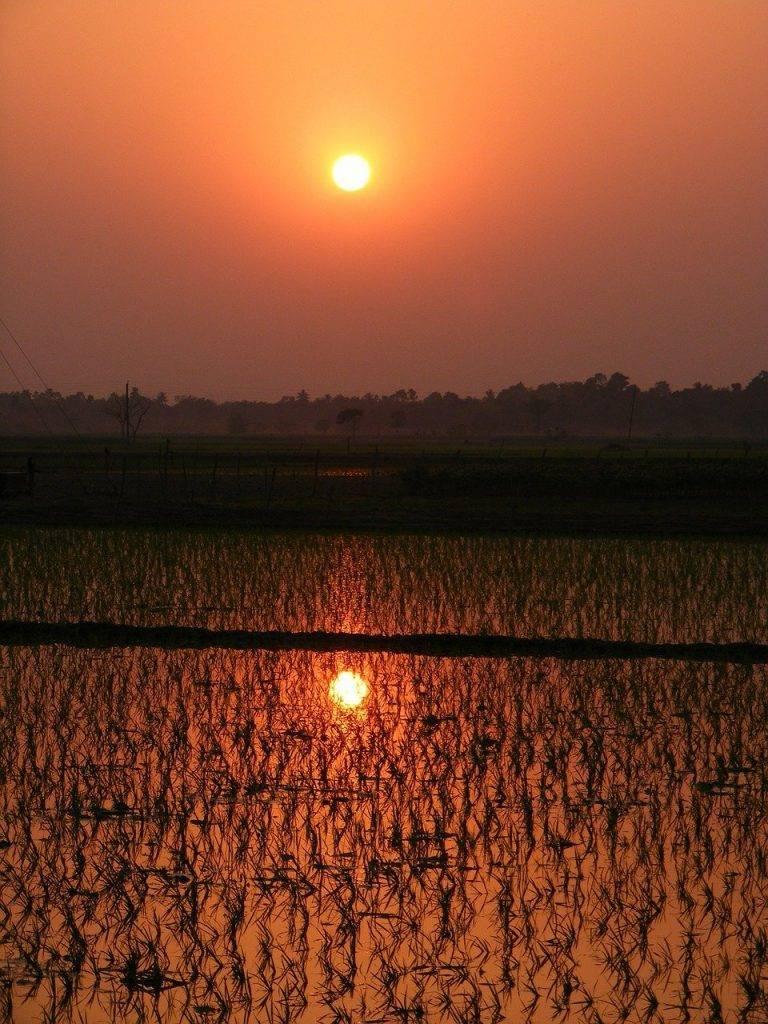 paddy, riz paddy, coucher de soleil