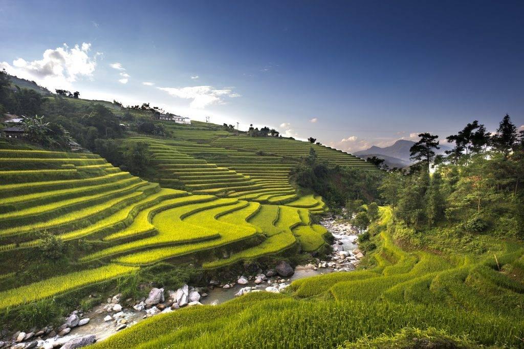 viêt-nam, riz, champ de riz