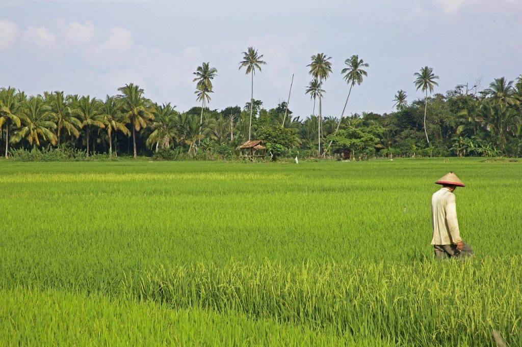 tropical, riz, le champ de riz
