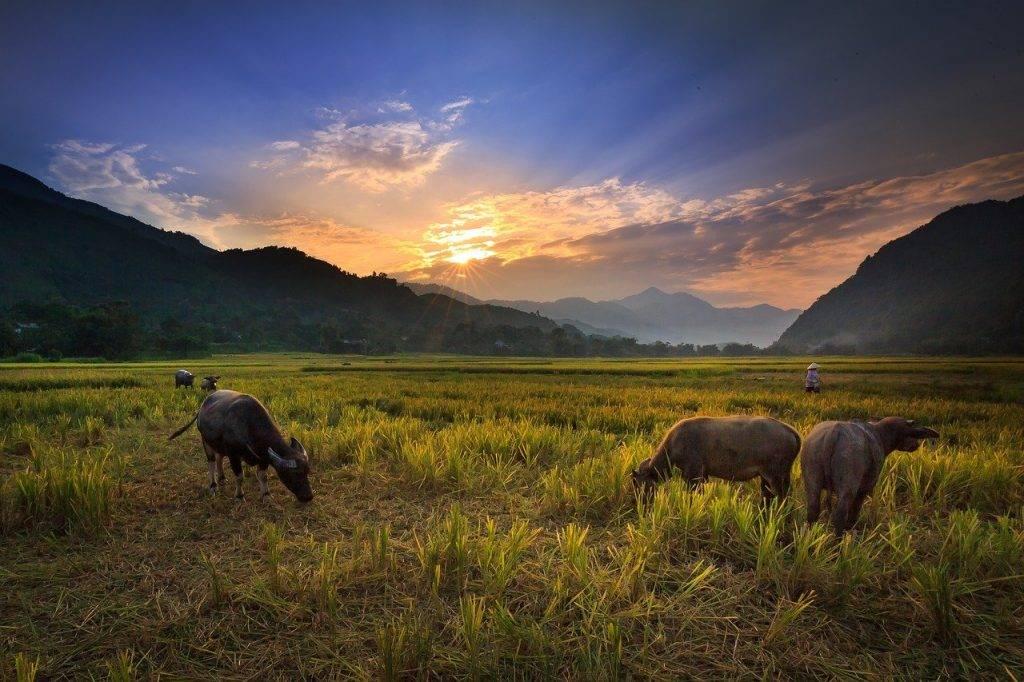 buffalo sur le champ de riz, nice, vert
