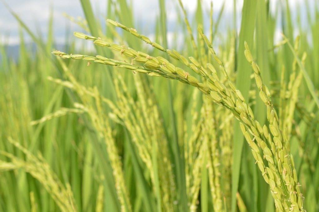 riz, champ de riz, paddy