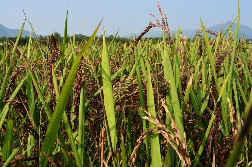 riz violet, riz brun, riz