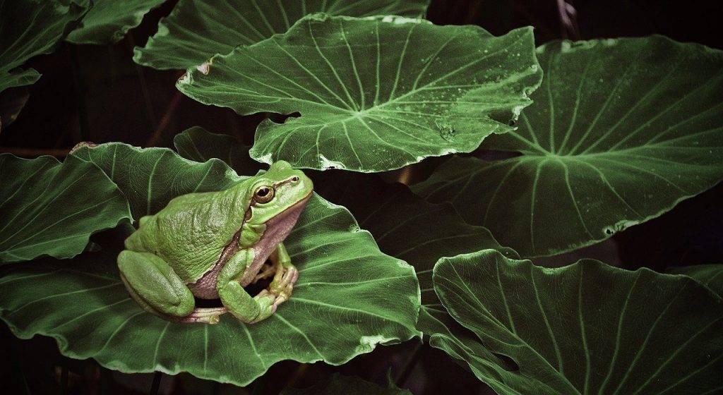 grenouille, plante, vert