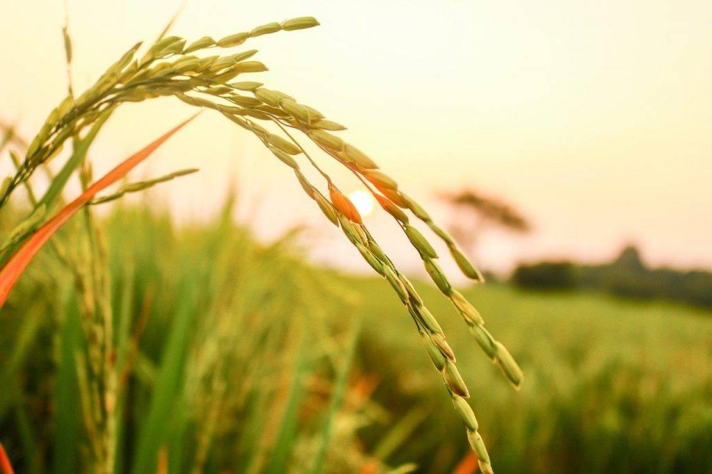 riz, semences de riz, agriculture
