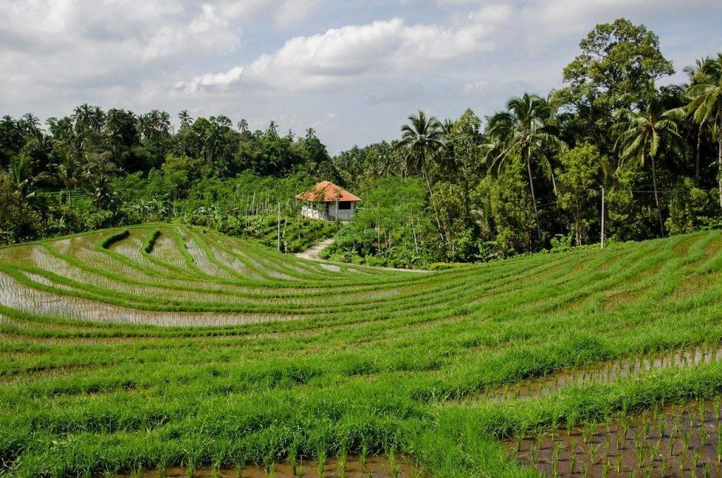 rizières en terrasses, paddy, rizières