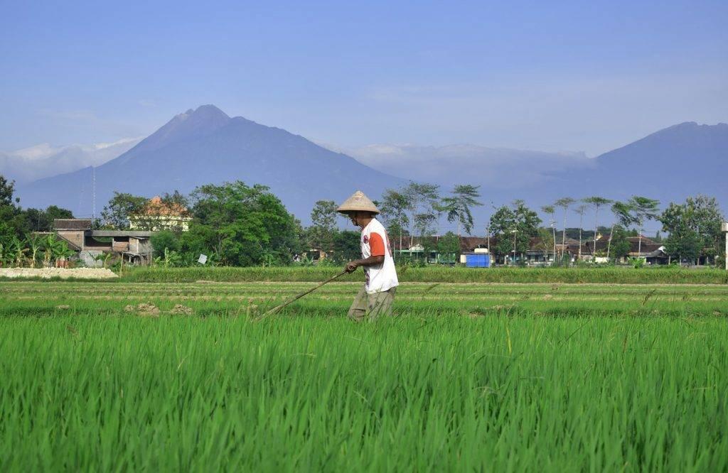 agriculteur, champ de riz, campagne
