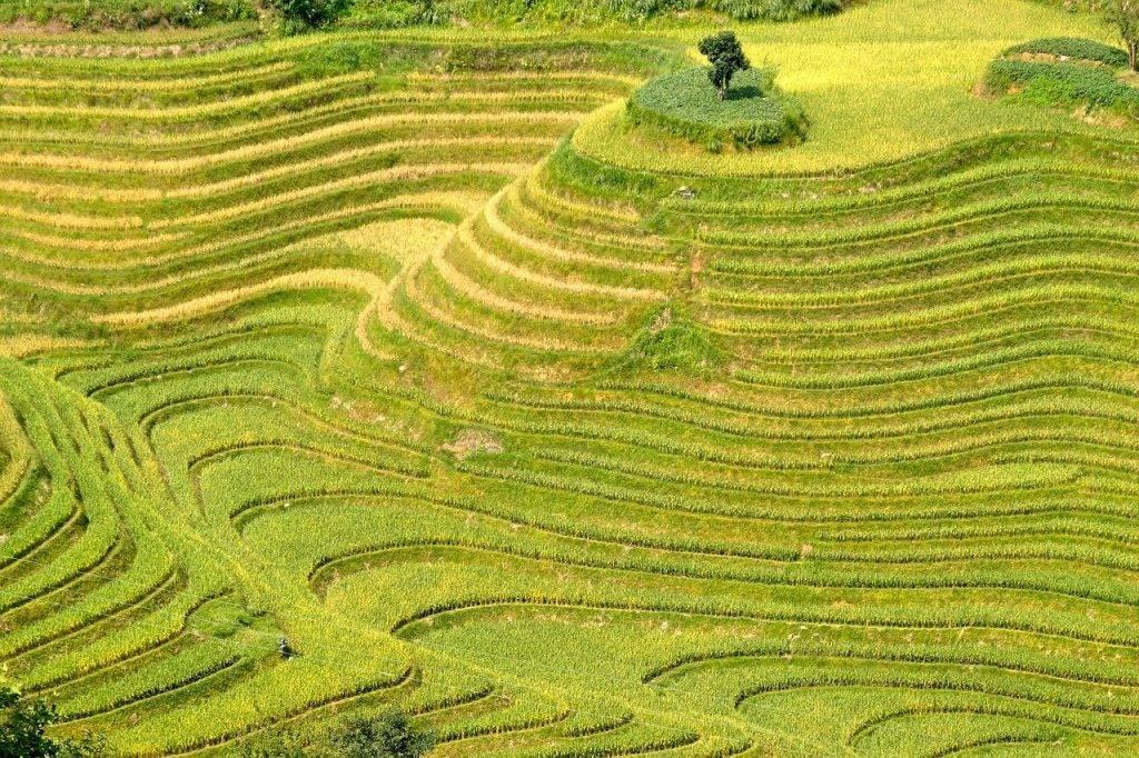 le riz, plantation, plantations de riz