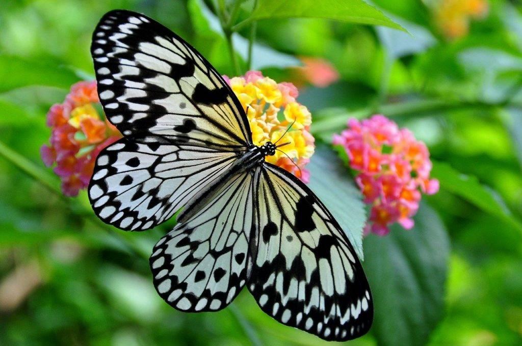 nymphe de l'arbre blanc, papillon, idée leuconoe