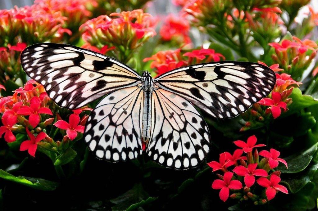 papillon nymphe arbre, nymphe de l'arbre blanc, papillon