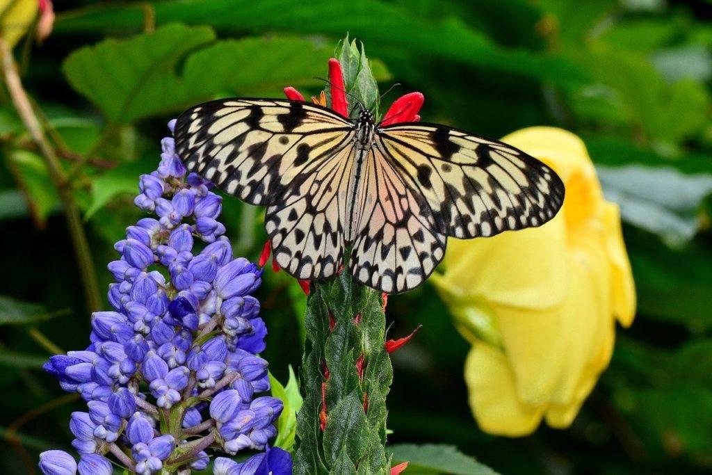 nymphe des arbres, papillon, insectes