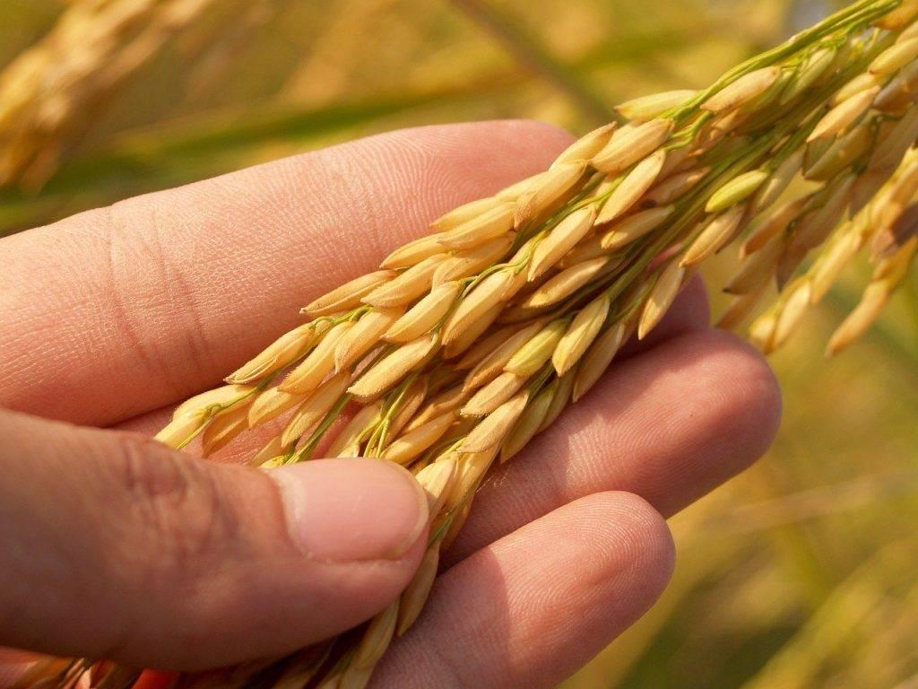 agriculture, asie, automne