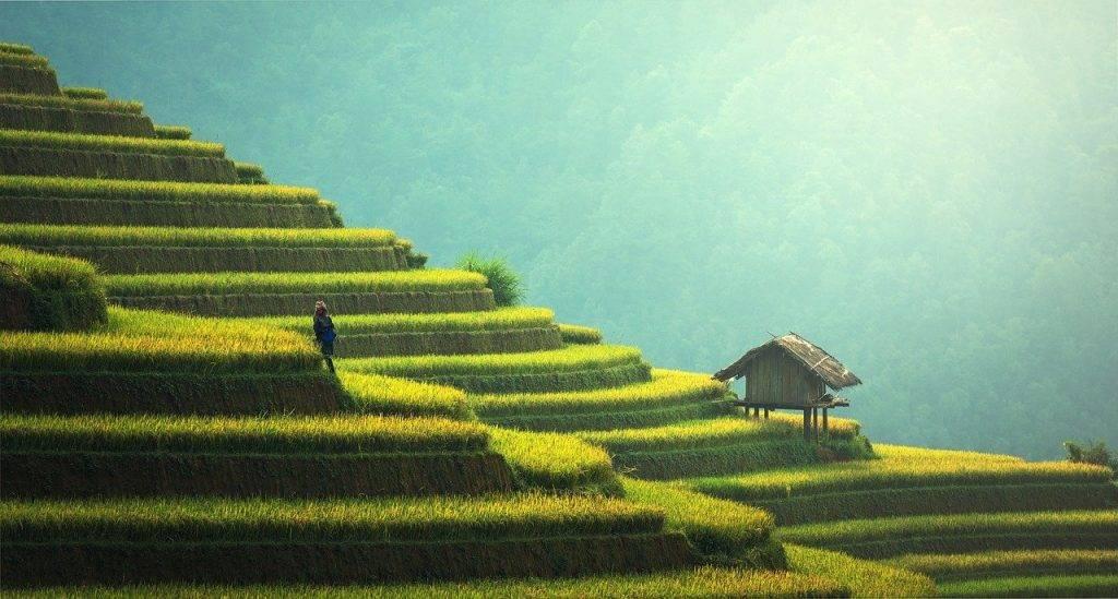 agriculture, plantation de riz, thaïlande