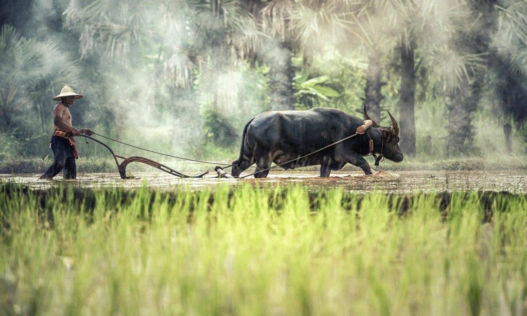 buffle, agriculteur, cultiver